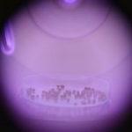 プラズマ照射でスイーツコーンに付加価値 福岡工業大学
