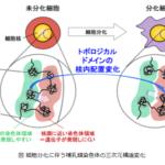 理化学研究所、細胞分化時の染色体の構造変化がTAD単位で行われることを発見
