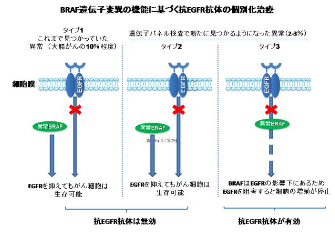 変異型大腸がんのひとつは、抗EGFR抗体治療が有効であることを発見
