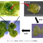 神戸大などが、植物クローンの仕組みを解明