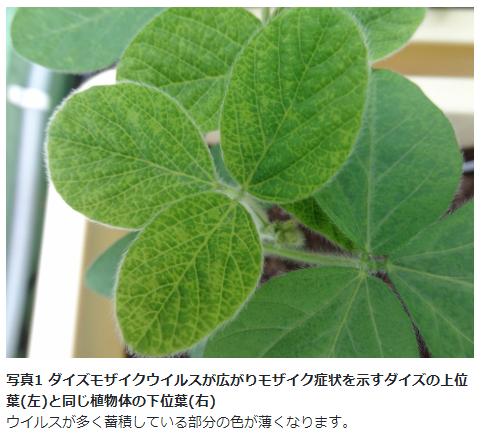増殖ウイルスを撃退する、植物の防御機能を発見