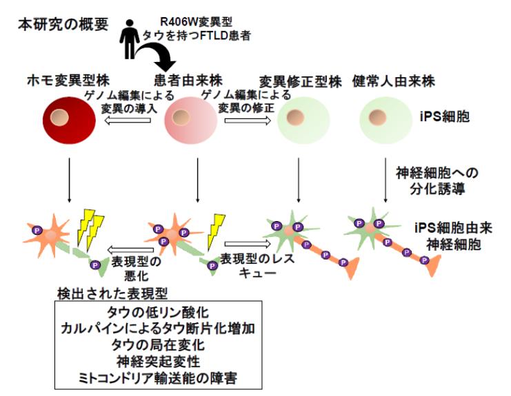 iPS細胞から分化させた細胞で、認知症異常を検出