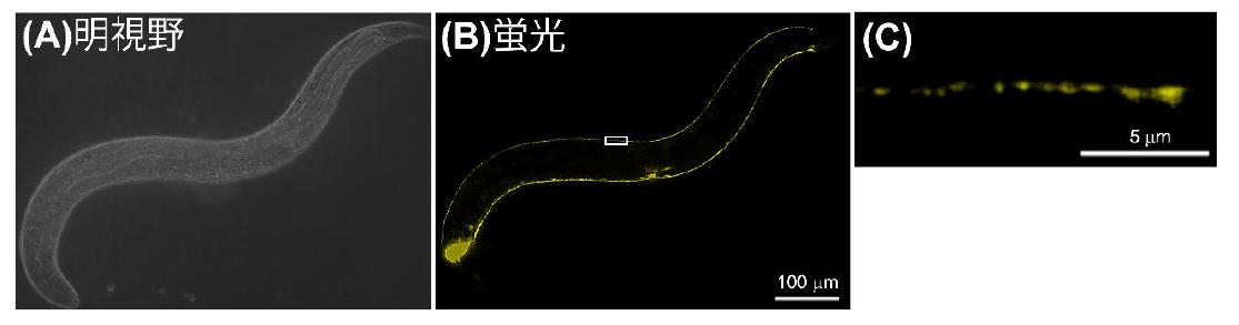 北海道大学が、新たな神経伝達分子機構を発見