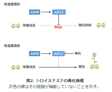 神戸大学が、アブラナ科野菜の開花抑制メカニズムを解明