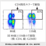 理化学研究所などが、長寿T細胞を発見