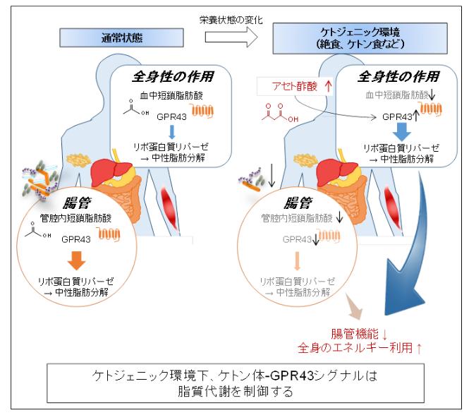 東京農工大学などが、低糖質ダイエットメカニズムを解明
