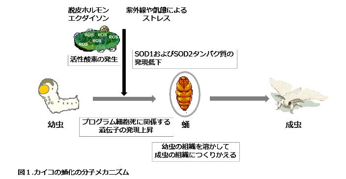 東京農工大学が、さなぎと活性酸素の関係性を発見