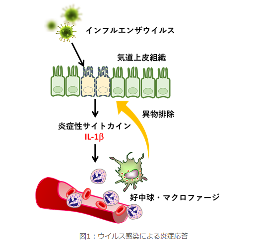 筑波大学などが、ウイルスを感知するタンパク質を発見