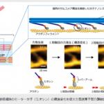 理化学研究所が、筋収縮動態の観察に成功