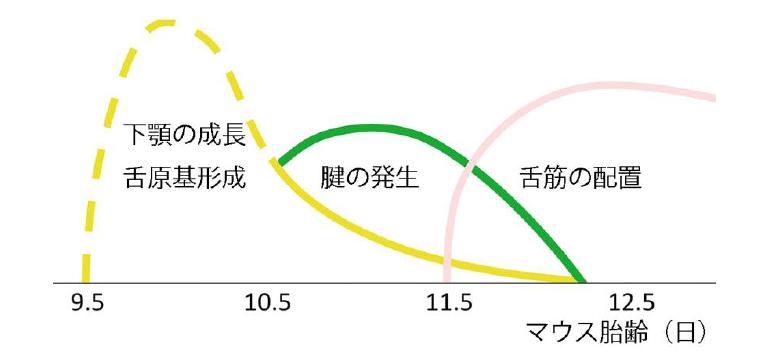 東京医科歯科大学などが、舌の形成と運動異常に関する仕組みを解明