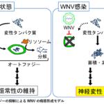 北海道大学が、ウイルス性脳炎の発症メカニズムを解明