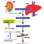 東北大学などが、血圧調整ホルモンの構造を解明