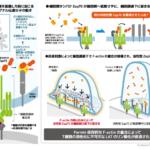 T細胞活性化メカニズムを解明