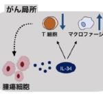 卵巣がんの悪化にIL-34が関与していることを発見