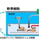 北海道大学が、関節の炎症原因を解明