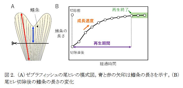 魚の尾ひれが再生復元する仕組みを解明