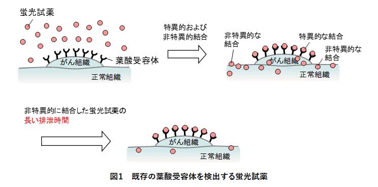 JSTと東京大学が、がん細胞のみを検出可能な蛍光試料を開発